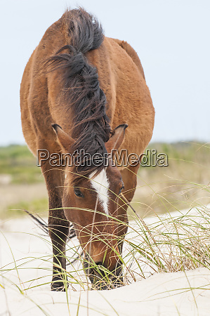 wild mustangs or banker horses equus