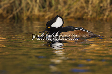 hooded merganser with meal