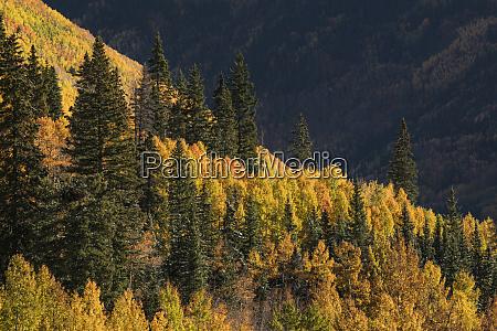 autumn aspen trees on mountain slope