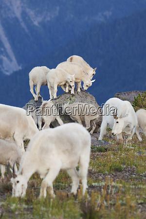 playful mountain goat kids