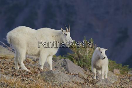 mountain goat nanny with kid