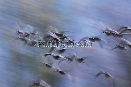 canada geese abstract motion