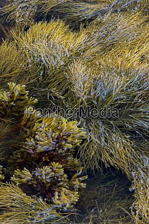 usa maine kelp floating on ocean