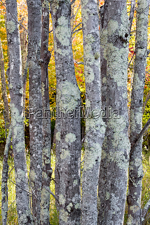 usa maine tree trunks with lichen