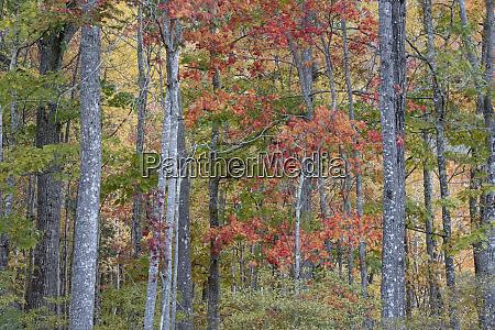 usa maine colorful autumn foliage in