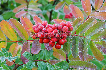 frost on mountain ash berries sorbus