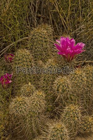 flowering prickly pear cactus spring saguaro