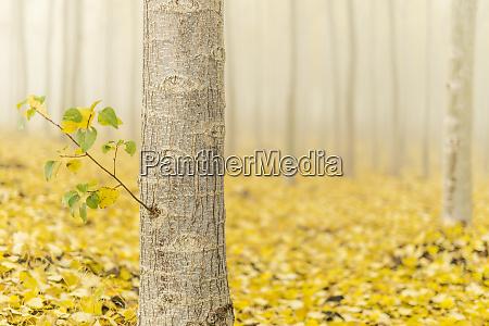 usa oregon morrow county poplar trees