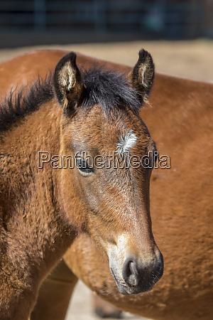 usa colorado san luis wild horse