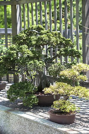 usa massachusetts boston arnold arboretum bonsai