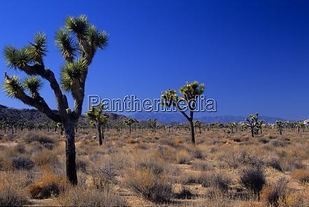 california joshua tree monument queen valley