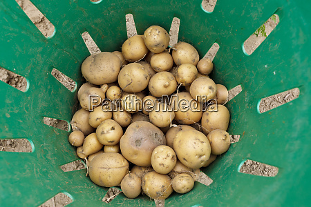 recently harvested potatoes at the crimson