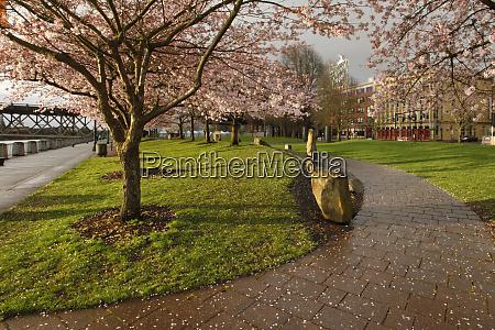 usa oregon portland blooming cherry trees