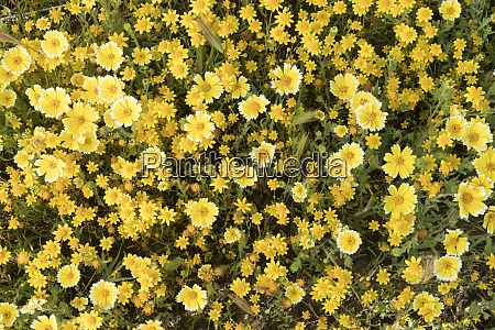 california tidytips layia platyglossa and goldfields