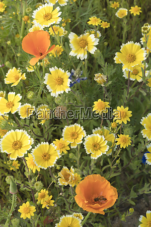 california tidy tip flowers layia platyglossa