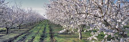 usa california merced co almond blossoms