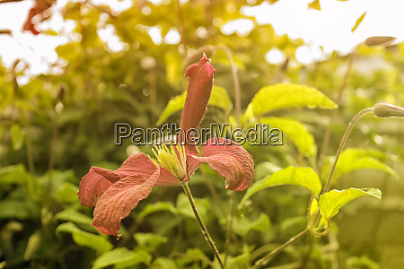 pink clematis in summer