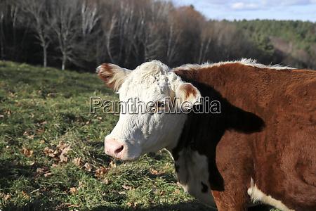a cow at wheel view farm