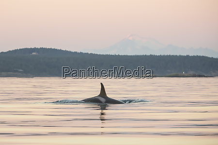 orca at sunset with mt baker