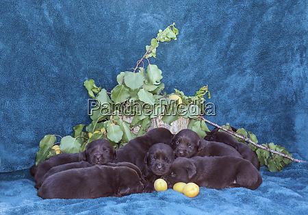 pile of sleeping labrador retriever puppies