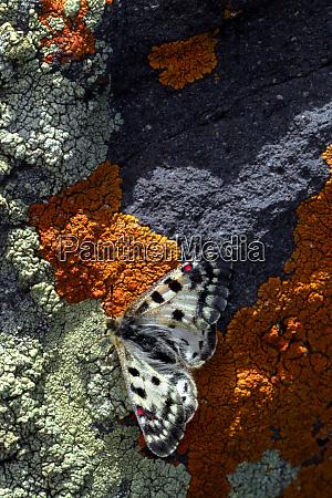 usa colorado mariposa butterfly on lichen