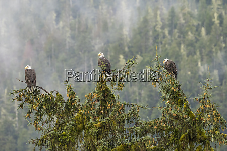 usa alaska tongass national forest bald