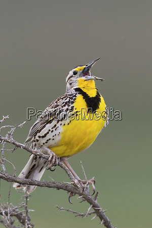 western meadow lark singing