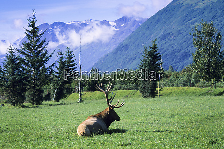 elk bull laying down in a