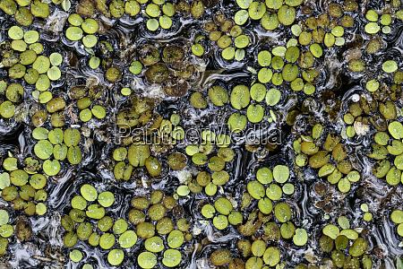 salvinia fern on swamp surface water