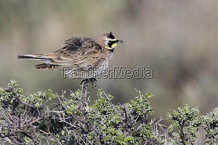 horned lark sage brush