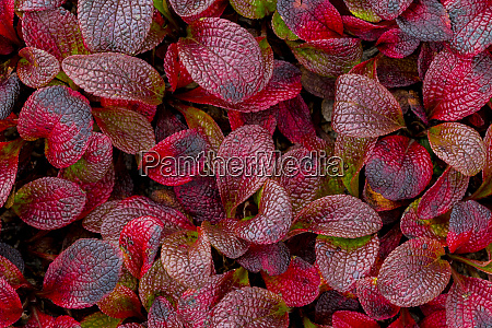 usa alaska alpine bearberry leaves close
