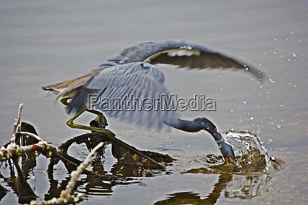 tricolored heron fishing egretta tricolor ding