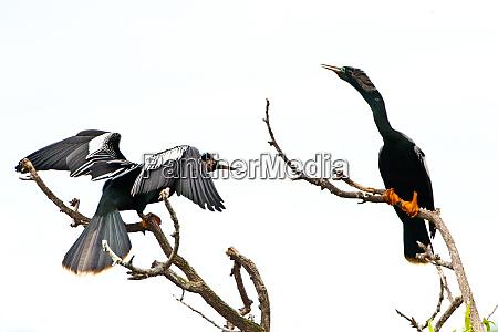 usa florida venice audubon rookery anhinga
