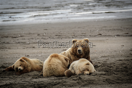 usa alaska grizzly bear cubs