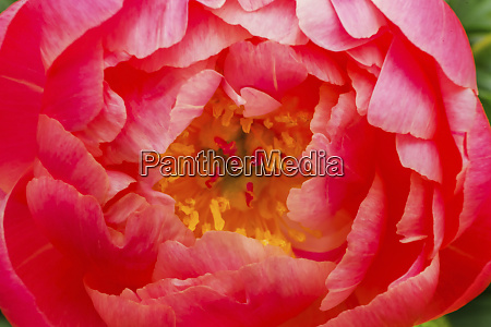 red petals of peony flower
