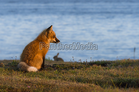 usa washington state red fox and