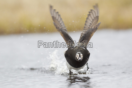 long tailed duck calling display protecting