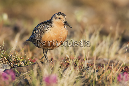 red knot arctic tundra