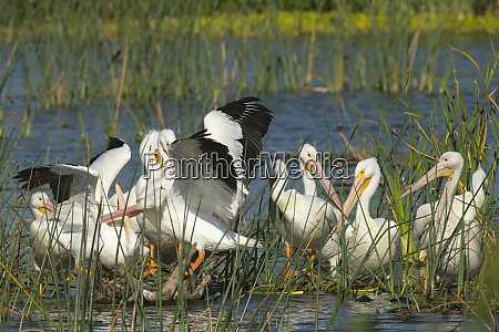 a flock of white pelicans resting