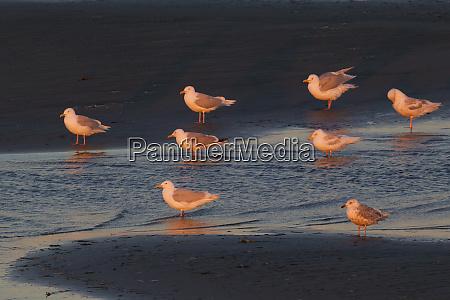 glaucous gulls midnight sun