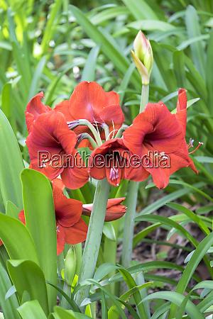 red amaryllis in garden usa