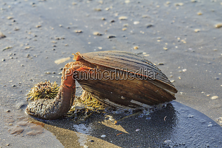 usa alaska a large clam with