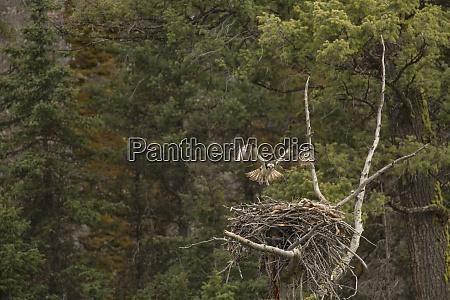 usa wyoming yellowstone national park osprey