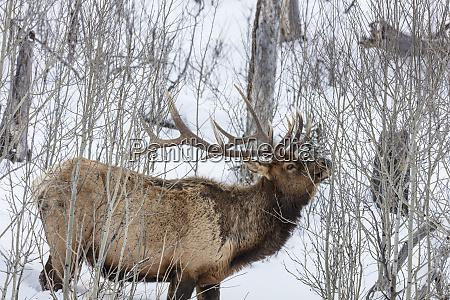 bull elk feeding on branches during