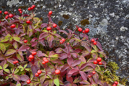 usa alaska hatchers pass bunch berry
