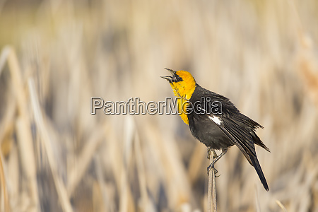 usa wyoming sublette county yellow headed