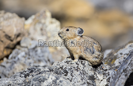 usa wyoming sublette county pika with