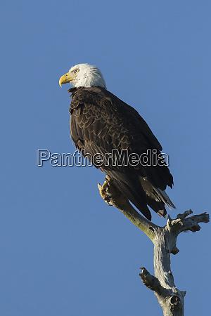 adult bald eagle haliaeetus leucocephalus sw