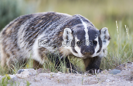 usa wyoming sublette county badger walking