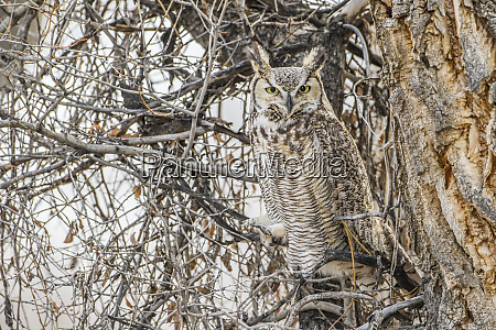 usa wyoming sublette county great horned